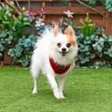Harnais sport rouge pour chien