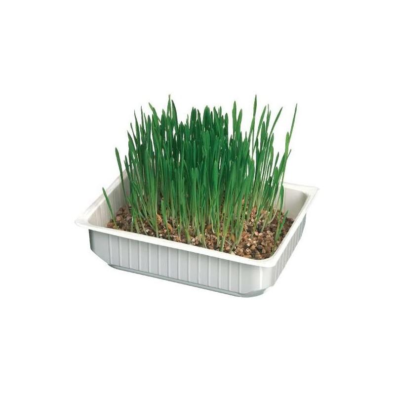 Barquette d'herbe à chat pour chat