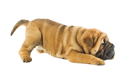bb%20sharpei.png